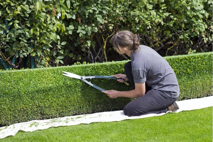 Tips to grow and maintain healthy hedges